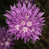 Fleur pourpre de floraison de ciboulette Image stock