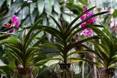 Fleur pourpre de floraison et de fanage lumineuse d'orchidée avec de belles feuilles de vert et racines blanches accrochant comme Photos libres de droits
