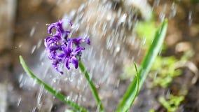 Fleur pourpre de floraison de jacinthe banque de vidéos