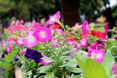Fleur pourpre de foyer sélectif la belle et magenta rose de couleurs fleurit avec le fond vert de feuille dans le jour ensoleillé Photos stock