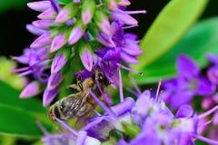 Fleur pourpre de hebe photographie stock libre de droits