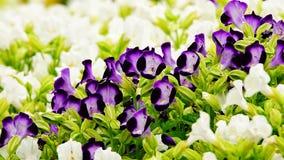 Fleur pourpre de jardin de désambiguisation de pensée image libre de droits