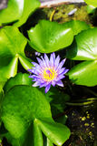 Fleur pourpre de lis avec les stamens jaunes photo stock