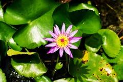 Fleur pourpre de lis avec les stamens jaunes image libre de droits