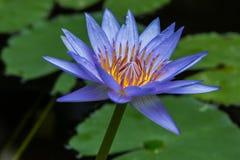 Fleur pourpre de lis de Lotus se tenant  image stock