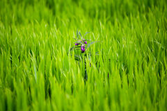 Fleur pourpre de marais Photos stock