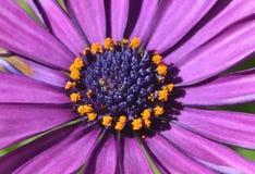 Fleur pourpre de marguerite Photos libres de droits