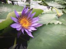 Fleur pourpre de nénuphar dans l'étang Image stock