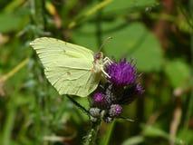Fleur pourpre de papillon jaune de soufre d'un chardon Images stock