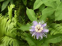 Fleur pourpre de passion de Maypop Photo libre de droits