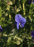 Fleur pourpre de pensée Photo libre de droits