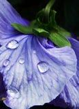 Fleur pourpre de pensée avec des baisses de l'eau Image libre de droits