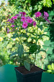 Fleur pourpre de phlox dans un pot Photographie stock