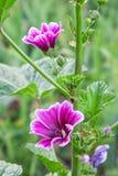 Fleur pourpre de ressort Photographie stock