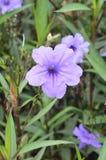 Fleur pourpre de ruellias dans le jardin Photographie stock
