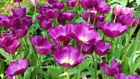 Fleur pourpre de tulipe Images stock