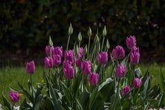 Fleur pourpre de tulipes de couleur au printemps Images stock