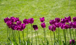 Fleur pourpre de tulipes de couleur au printemps Images libres de droits