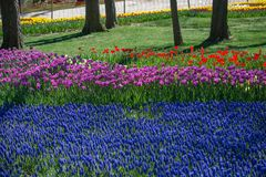 Fleur pourpre de tulipes de couleur au printemps Photo libre de droits