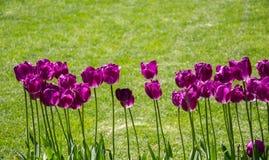 Fleur pourpre de tulipes de couleur au printemps Photo stock