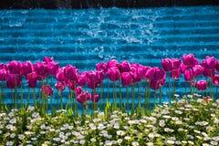 Fleur pourpre de tulipes de couleur au printemps Image stock