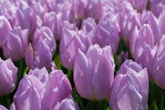 Fleur pourpre de tulipes de couleur au printemps Photos libres de droits