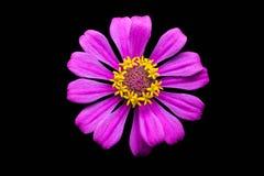 Fleur pourpre de zinnia Images libres de droits