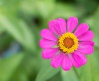 Fleur pourpre de zinnia Photos stock