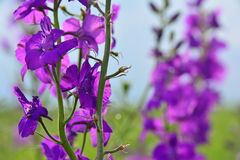 Fleur pourpre devant un champ les mêmes fleurs - détail photo stock