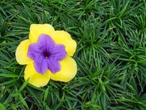 Fleur pourpre en fleur jaune photographie stock