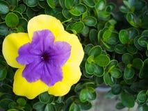 Fleur pourpre en fleur jaune photos libres de droits
