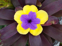 Fleur pourpre en fleur jaune sur la feuille rouge Images stock
