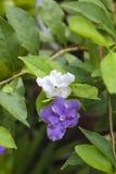 Fleur pourpre et blanche dans le jardin photos libres de droits