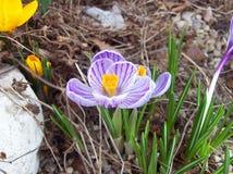 Fleur pourpre et blanche de crocus Images stock