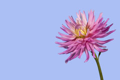 Fleur pourpre et blanche de dahlia photo libre de droits
