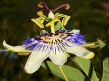 Fleur pourpre et blanche de passiflore comestible de passiflore l'Afrique du Sud Photographie stock libre de droits