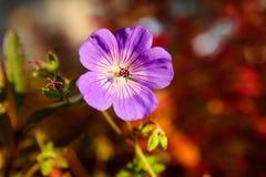 Fleur pourpre et fond rouge vibrant images libres de droits