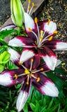 Fleur pourpre et jaune colorée Photographie stock libre de droits