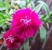 Fleur pourpre intense dans le jardin photographie stock libre de droits