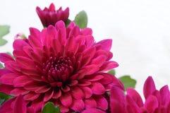 Fleur pourpre pour le fond ou la texture Photo libre de droits
