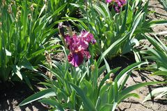 Fleur pourpre rosâtre d'iris germanique photos stock