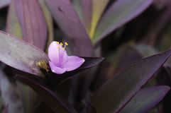 Fleur pourpre rosâtre de pallida 'Purple Heart' de Setcreasea Image stock