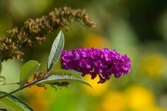 Fleur pourpre rose de Buddleja en automne Photos libres de droits