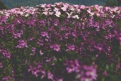 fleur pourpre rose de floraison dans le parterre dans le domaine Images libres de droits