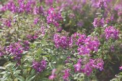 fleur pourpre rose de floraison dans le parterre dans le domaine Image stock