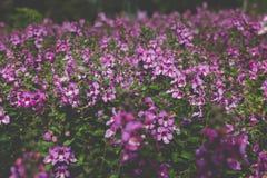 fleur pourpre rose de floraison dans le parterre dans le domaine Photographie stock