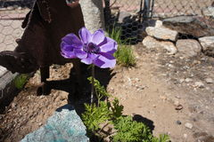 Fleur pourpre simple Images libres de droits