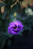 Fleur pourpre verticale de Lisianthus Photos stock