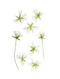 Fleur pressée et sèche de holostea de Stellaria D'isolement images stock