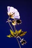 Fleur pressée sur le fond bleu Images stock